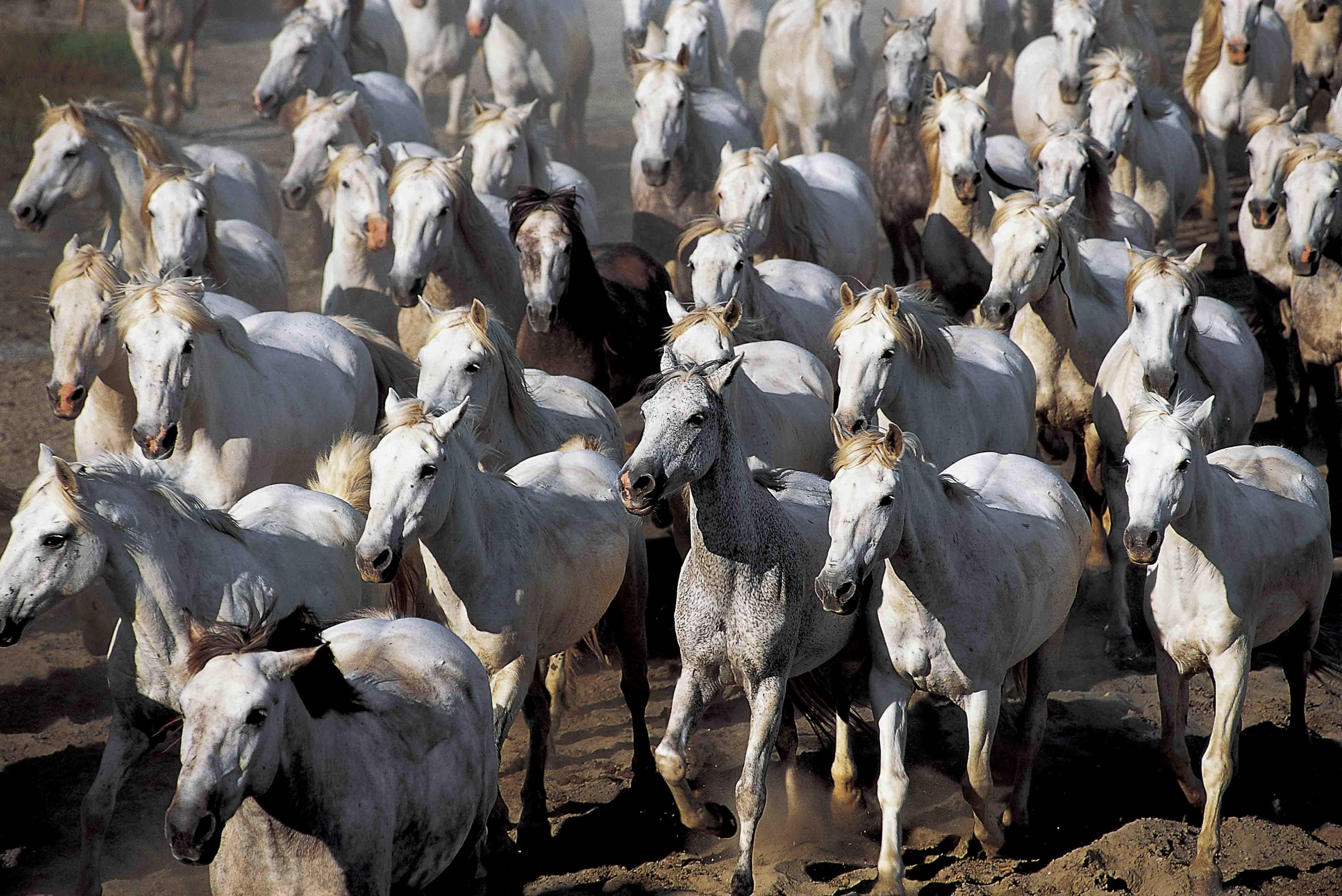 Camargue herd
