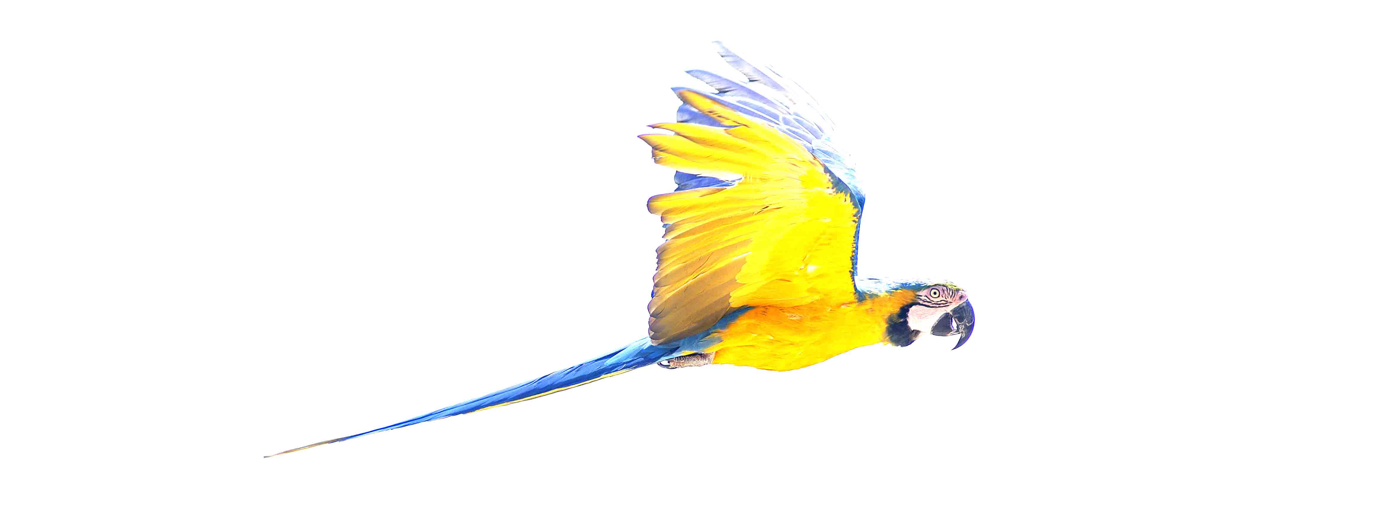 Oiseau d�or