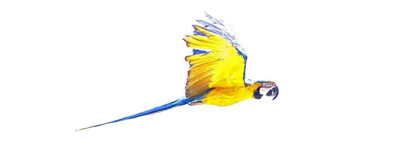 Oiseau d'or