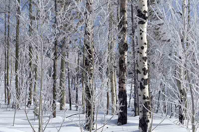 Bouleaux en hiver